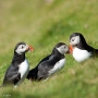 Puffins at Hermaness, on the island of Unst