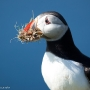 Puffin with burrow diggings at Hermaness, on the island of Unst