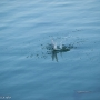 Arctic Tern, Burrastow