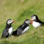 June - Puffins at Hermaness, on the island of Unst