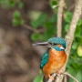 Male kingfisher, Alcedo atthis