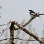 Pied Flycatcher, Derwentwater