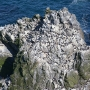 Guillemots on a sea stack, Sumburgh Head