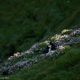 Puffins, Sumburgh Head