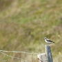 Wheatear, Hermaness