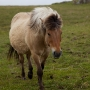 Haakon, the Icelandic horse