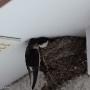 House martins nesting